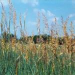 Indiangrass, a native tallgrass prairie grass, grows at Sneed Prairie