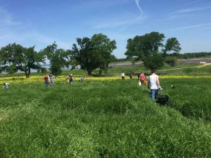 GreenServe 2018 – clearing out invasive grasses at Hagerman